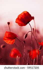 Red poppies on spring meadow, red colored