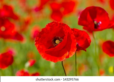 Red poppies on spring meadow,rr