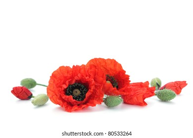 red poppies on white background - flowers and plants
