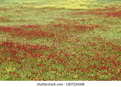 Red poppies and other wildflowers blooming in meadow, Central Anatolia, Turkey