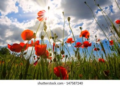 red poppies scene