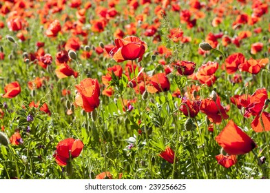 Red poppies in spring time