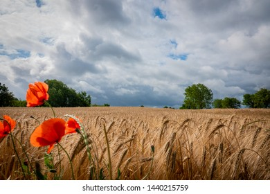 red poppies stand in front of a brown cornfield and the sky is full of dark clouds