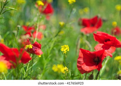 Red poppies in summer field, close up