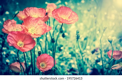 Red poppies in sun beams on the meadow. Selective focus. Aged photo. Retro style postcard.