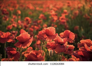 Red poppies. Sunlit Red Wild Poppy Are Shot With Shallow Depth Of Sharpness On A Background Of A Wheat Field. Landscape With Poppy. Rural Plot With Poppy And Wheat.