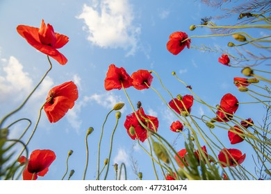 red poppies with turning to the sky