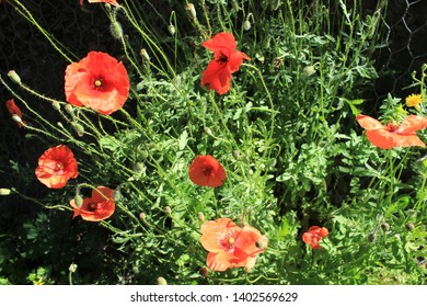 red poppies and white daisies