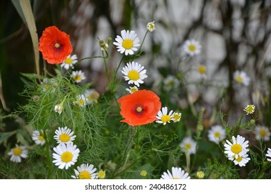 Red poppies with white flowers