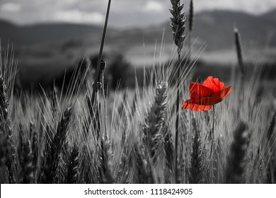 red poppy and black and white