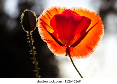 Red poppy and a bud against white and black background