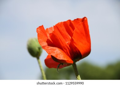 red poppy close up on sky background