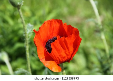 red poppy closeup
