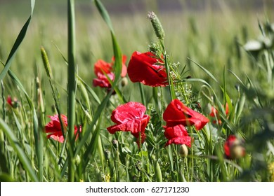 Red poppy closeup and green wheat field on background