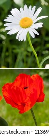red poppy and daisy in the green summer grass