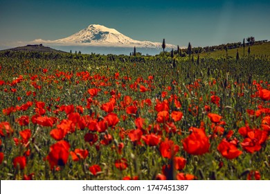 Red poppy field with Ararat mountain