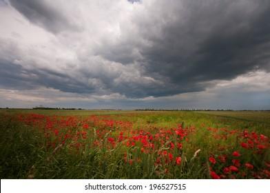 red poppy field on a gloomy day