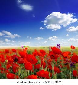 Red poppy field over blue sky