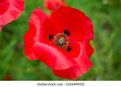 Red poppy in a poppy field symbolising the remembrance poppy inspired by the World War 1 poem In Flanders Fields.
