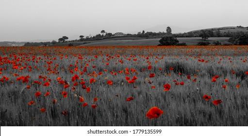 Red poppy field in Toscany Italy