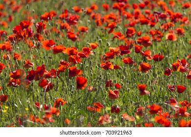 Red poppy fllowers in a spring meadow