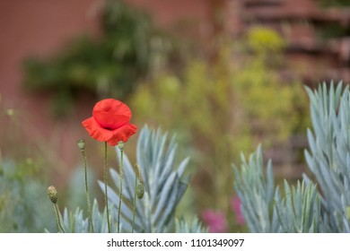 Red Poppy Flower In World War 1 Stock Photos Images Photography