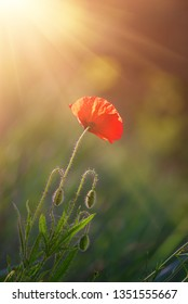 Red poppy flower blooming in the green grass field, floral natural spring background, can be used as image for remembrance and reconciliation day