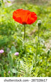 red poppy flower and bud on meadow in summer day