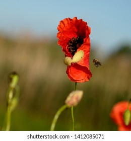 Red poppy flower bud opening and honey bee out in the field