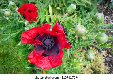 The Red Poppy flower with buds in the garden