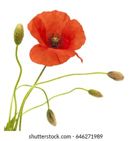 red poppy flower and buds isolated on white background