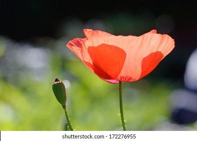 a red poppy flower in chaing rai thailand