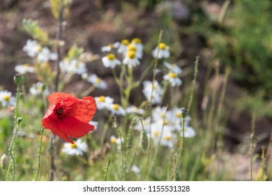 Red poppy flower closeup with a background of white daisies