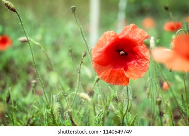 Red poppy flower in a field (Papaver rhoeas)