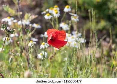 Red poppy flower head in focus among white summer flowers