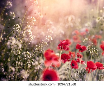Red poppy flower in meadow between little white flowers - beautiful nature