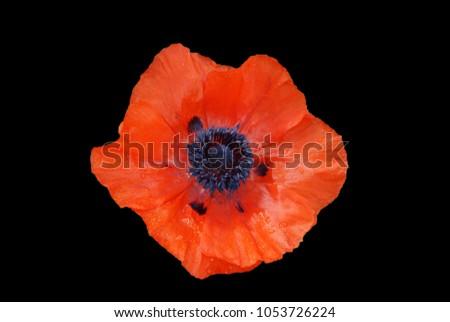 Red Poppy Flower On Black Background Stockfoto Jetzt Bearbeiten