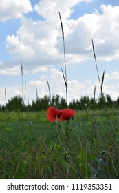red poppy flower on a green field below the blue sky