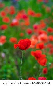 Red poppy flower on a summer day.