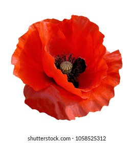 red poppy flower Remembrance Anzac Day isolated on white blackground with saved clipping path