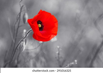 Red poppy flower for Remembrance Day / Sunday