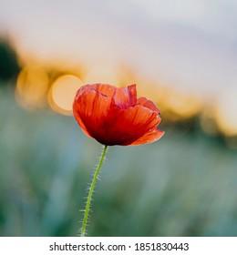 Red poppy flower at sunset in a summer field - Shutterstock ID 1851830443