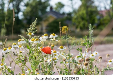 Red poppy flower and white daisies summer flowers closeup