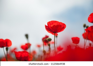 Royalty Free Poppy Flower Stock Images Photos Vectors Shutterstock