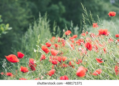 red poppy flowers and blossoms in spring blooming in natural environment - vintage look