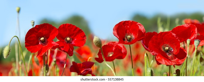 Red poppy images stock photos vectors shutterstock red poppy flowers in a field banner mightylinksfo