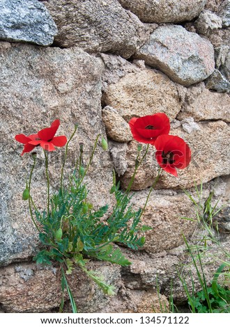 Red poppy flowers growing on rocks stock photo edit now 134571122 red poppy flowers growing on the rocks background mightylinksfo