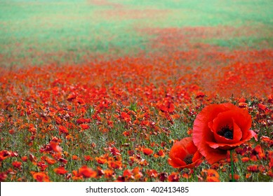 Red poppy images stock photos vectors shutterstock red poppy flowers on the field as symbol for remembrance day bright flower with soft mightylinksfo