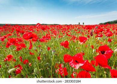 Red poppy flowers on fields Crimea. Russia. Ukraine