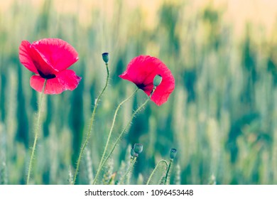 Red poppy flowers- papaver rhoeas -against a green  background